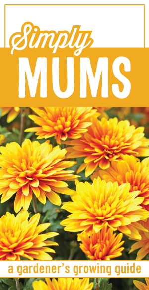 planting mums guide for